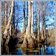 Buy Swamp Tupelo Trees
