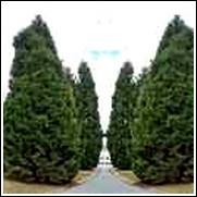 buy leyland cypress trees