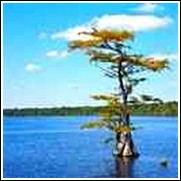 Buy Pond Cypress Trees