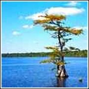 Buy Pond Cypress Trees