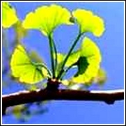 buy ginkgo trees