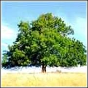 buy green ash trees