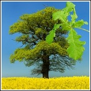 buy bur oak trees