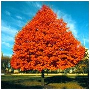 buy northern red oak trees