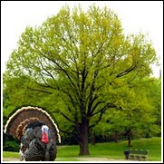 buy turkey oak trees