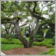 buy live oak trees