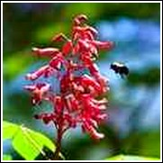 Buy Red Florida Buckeye Trees