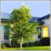 Buy River Birch Trees