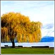 Corkscrew Willow Tree