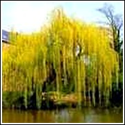 Buy Weeping Willow Trees