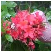 CPES Orange Native Azalea Shrub