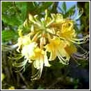 Florida Flame Yellow Native Azalea Shrub