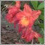 Nathan B Forest Native Azalea Shrub