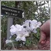 Will o Wisp Native Azalea Shrub