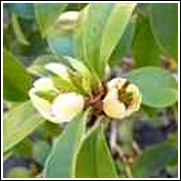 Banana Shrub