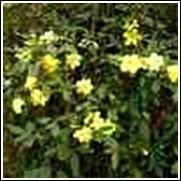 Chinese Primrose Jasmine