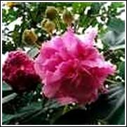 Confederate Rose Shrub