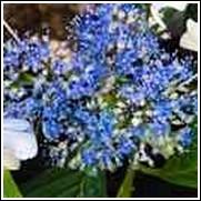 Blue Billow Hydrangea Shrub