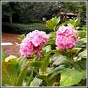 Pink Lace Cap Hydrangea Shrub