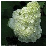 Gatsby Moon™ Oak Leaf Hydrangea