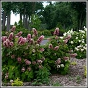 Gatsby Pink® Oak Leaf Hydrangea