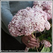 Incrediball Blush™ Hydrangea
