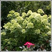 Little Lime® Hydrangea