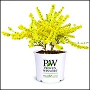Show Off ® Forsythia