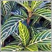 Sanchezia nobilis Perennial