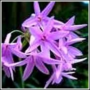 Society Garlic Lily