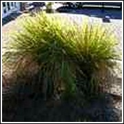 Spiky Blue' Fescue Grass