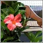 Star and Stripes Mandevilla