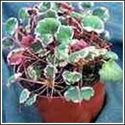 Strawberry Geranium Perennial Plant