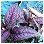 Strobe Perennial Plant