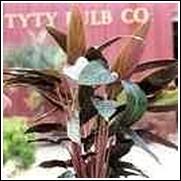 Stromanthe sanguinea Perennial Plant