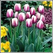 Buy Atlantis Tulip Bulbs