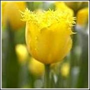Buy Crystal Star Tulip Bulbs