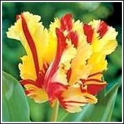 Buy Flaming Parrot Tulip Bulbs