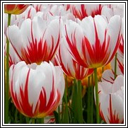 Buy Happy Generation Tulip Bulbs