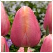 Buy Menton Tulip Bulbs