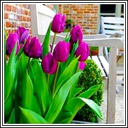 Buy Purple Prince Tulip Bulbs