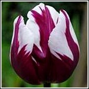 Buy Rem's Favourite Tulip Bulbs