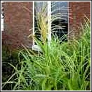 Variegated Miscanthus Grass