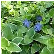 Variegated Periwinkle Ground Cover
