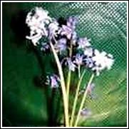 White Campanulata Scilla