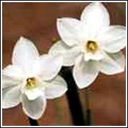 White Daffodil Bulb