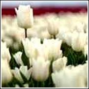 White Inzell Tulip