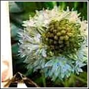 White Peruviana Scilla Bulb