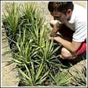 buy color guard yucca plants
