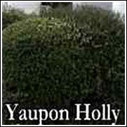 Yaupon Holly Shrub